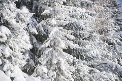White firs in winter Stock Photos