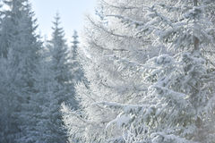 White firs in winter Royalty Free Stock Photos