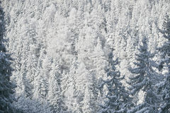 White firs in winter Royalty Free Stock Images