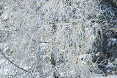 White firs in winter Royalty Free Stock Photo
