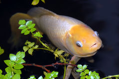 White fish. On the surface of water with aquatic plants Stock Images