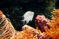 White Fish in the Ocean. White fish on the dark background Royalty Free Stock Photos