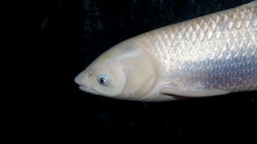 A white fish royalty free stock image