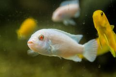 White fish toghter yellow fish. I see that like - this white fish - Albino and Yellow fish in Portugal royalty free stock photography