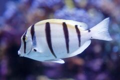 Free White Fish With Black Stripes. Manini, Convict Surgeonfish, Acanthurus Triostegus Stock Image - 172739181