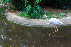 White flamengo looking for food. Royalty Free Stock Images
