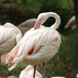 White flamingo stock photos