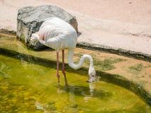 White flamingo bird Royalty Free Stock Photography