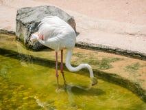 White flamingo bird Stock Photo