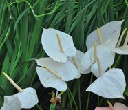 White Flamingo flowers Stock Images