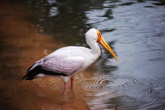 White flamingo in lake Royalty Free Stock Photos
