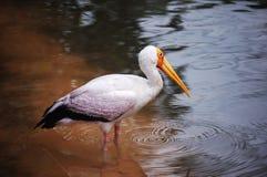 White flamingo in lake Royalty Free Stock Photos