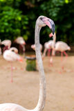 White flamingo pink beak Royalty Free Stock Images