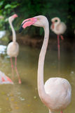 White flamingo pink beak Royalty Free Stock Photo