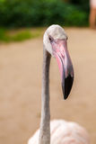 White flamingo pink beak Royalty Free Stock Photography
