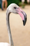 White flamingo pink beak Royalty Free Stock Photos