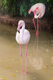 White flamingo pink beak in water Royalty Free Stock Photos