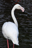 White Flamingo. Standing in water, dark background Royalty Free Stock Photography