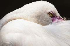 White Flamingo, yellow eye, pink beak Stock Image