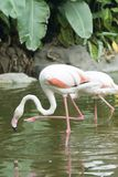 The white flamingo in zoo Stock Photos