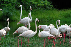 White flamingoes. Near the river Stock Images