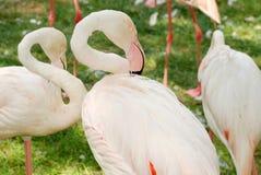 White flamingos. White Flamingo herd on green grass Royalty Free Stock Photos