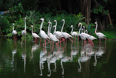 White flamingos. A group of white flamingos dancing in the river Royalty Free Stock Images