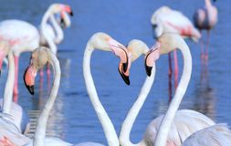 White flamingos Stock Photo