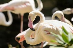 White flamingos standing in the water. royalty free stock photography