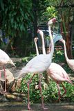 White flamingos in the zoo. White flamingos walking in the zoo royalty free stock photography