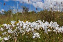 White Flax Flowers Linum suffruticosum Stock Photography