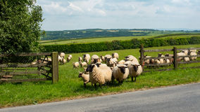 White fleeced sheep. In Devon, south west England Stock Images