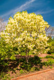 White, fleecy blooms  hang on the branches of fringe tree Stock Photos