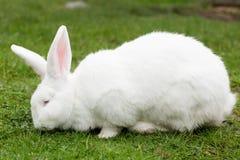 White Flemish Giant rabbit Royalty Free Stock Photos