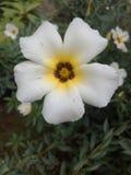 White flo. White n yellow inside royalty free stock photography