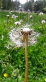 White floates off dandelion..True happiness stock image