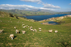 White Flock, Green Valley And Blue Lake Stock Image