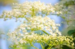 White floral background. White flower garden Sambúcus racemósa on green background Stock Photo