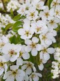 White floral flowers bloom blossom natural garden. Blossom tree spring farm background royalty free stock image