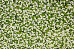 White florets Stock Images