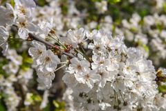 White florets of cherry royalty free stock photo