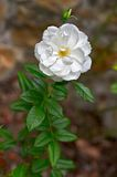 White Floribunda rose -- cultivar Iceberg Stock Photos