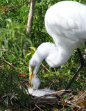 White Florida Egret Royalty Free Stock Photos