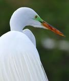 White Florida Egret Royalty Free Stock Images