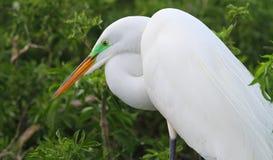 White Florida Egret Royalty Free Stock Photos