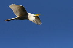 White Florida Egret Royalty Free Stock Image