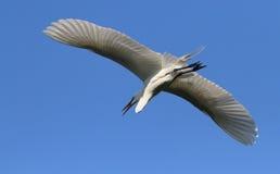 White Florida Egret Stock Image