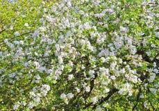 White flourishing apple tree Stock Images