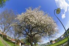White flourishing apple-tree Royalty Free Stock Photos