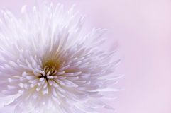 White flower. White chrysanthemum on pink background Stock Photos